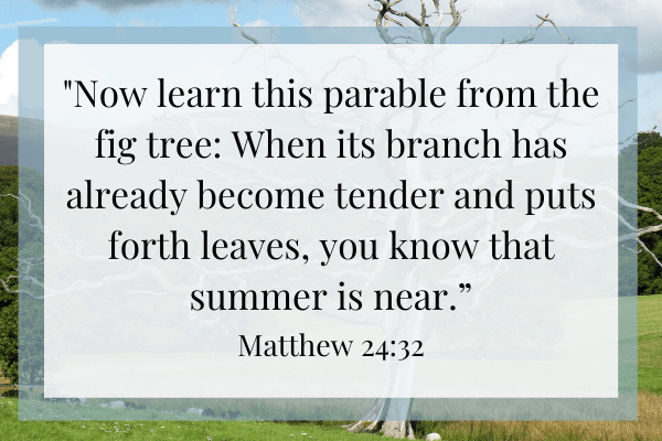 Matthew 24:32 in front of fig tree